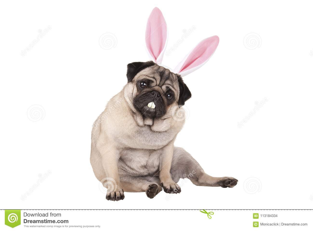 Adorable cute pug puppy dog sitting down with easter bunny ears and teeth