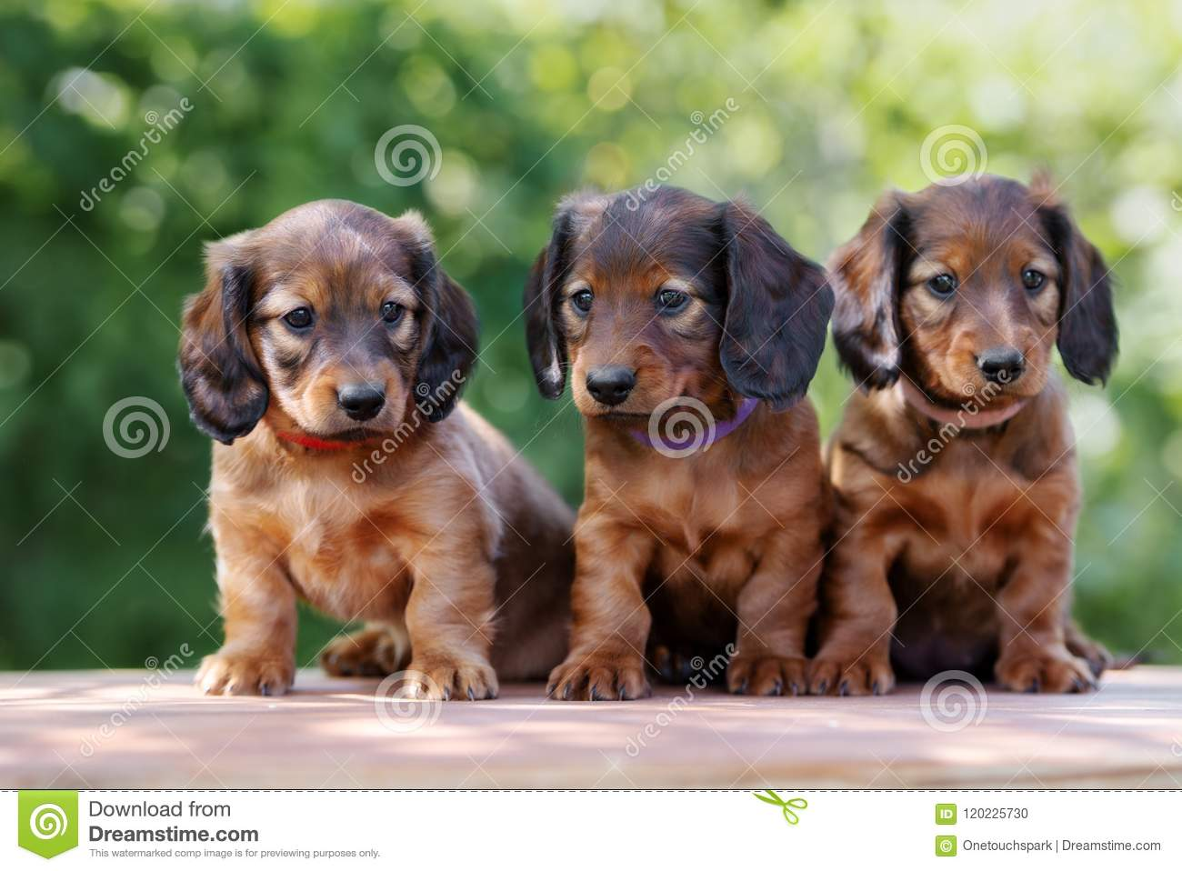 Adorable Dachshund Puppies Outdoors In Summer Stock Photo Image Of Ears Miniature 120225730