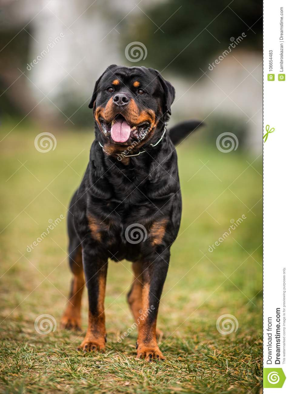 Adorable Devoted Purebred Rottweiler Stock Image Image Of Looking