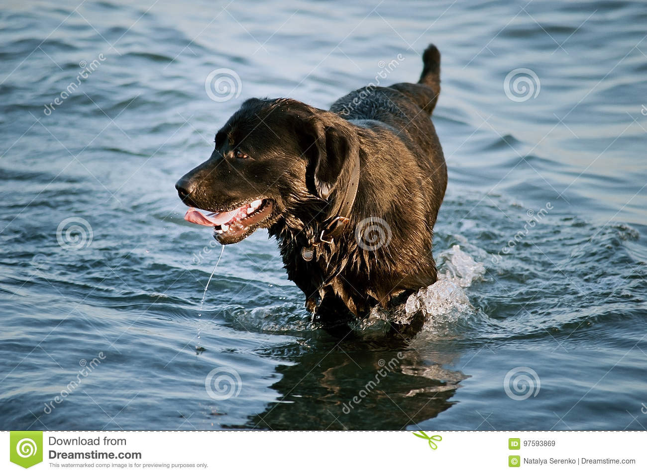 Big black dog is bathed in the water. labrador golden retriever dog runs on water in the sea