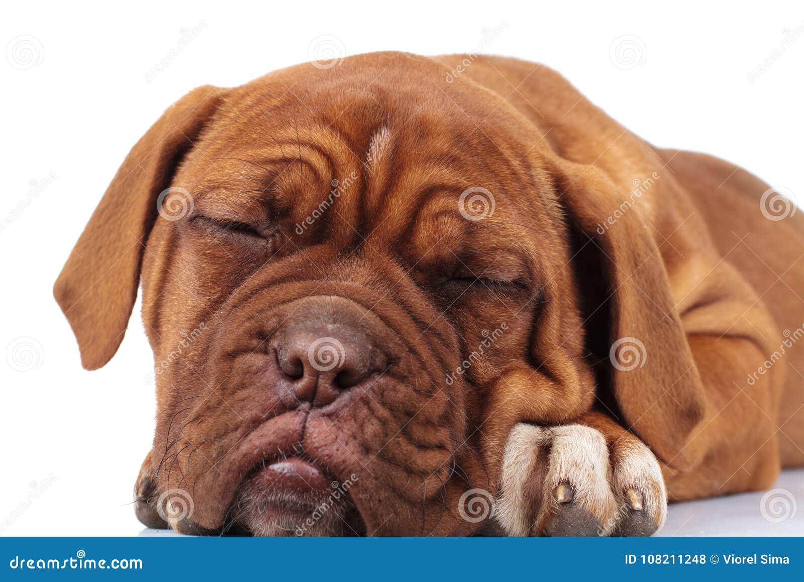 Adorable dogue de bordeaux puppy is sleeping