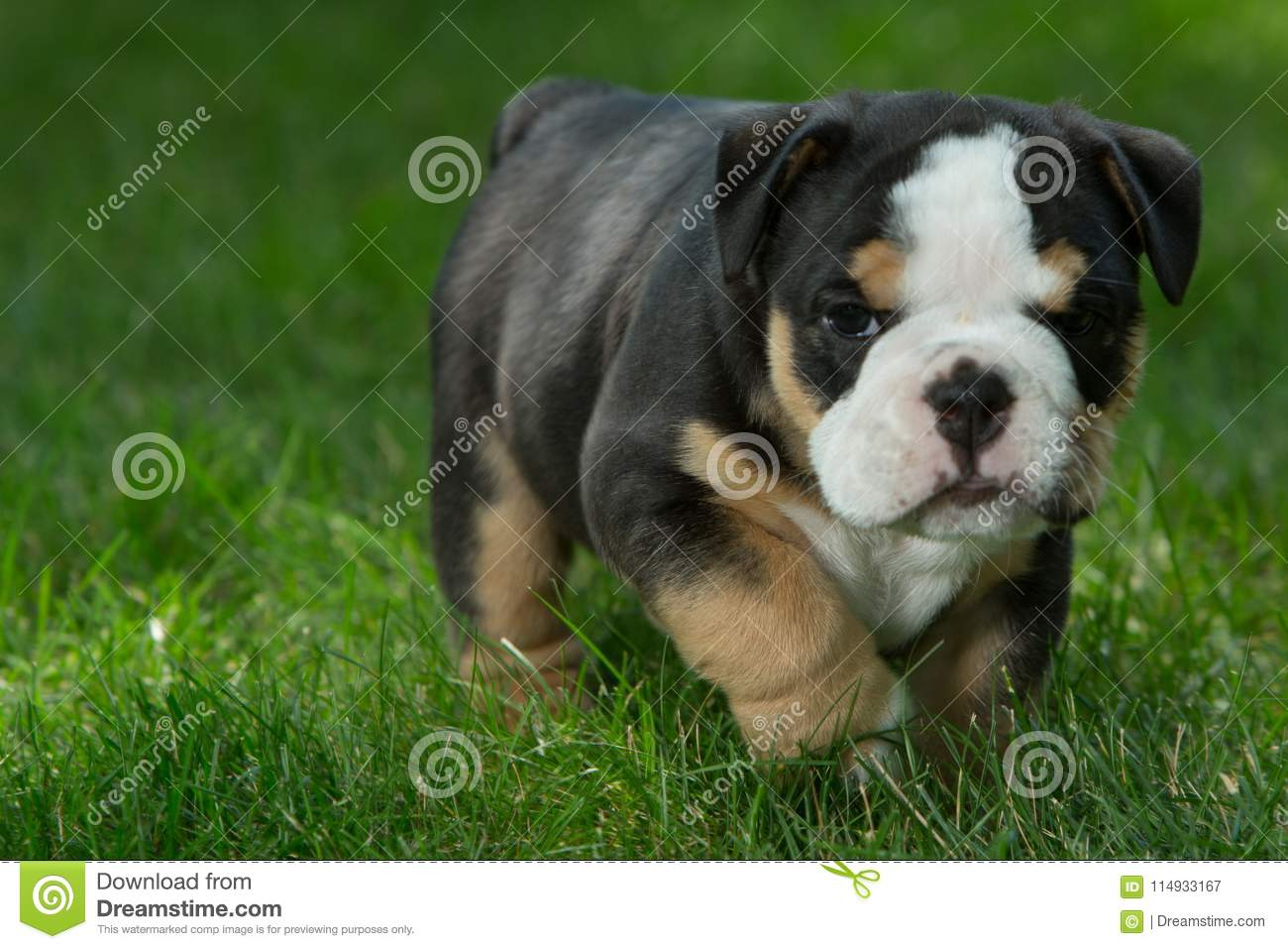 Cute Brown And Black Wrinkled Bulldog Puppy In The Grass Looking At Something Stock Image Image Of Play Cute 114933167