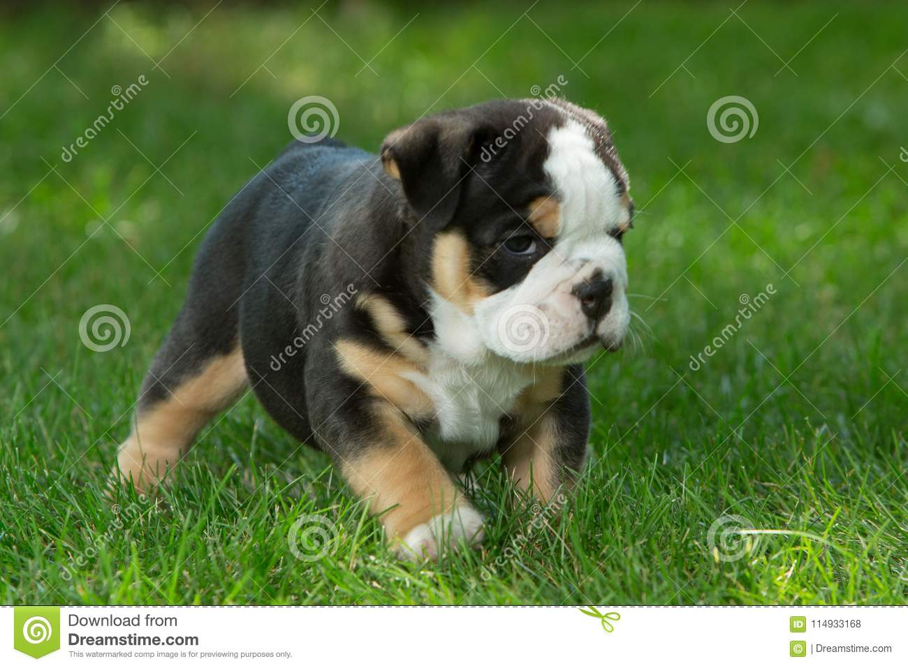 Cute Brown And Black Wrinkled Bulldog Puppy In The Grass Looking At Something Stock Photo Image Of Grass Standing 114933168