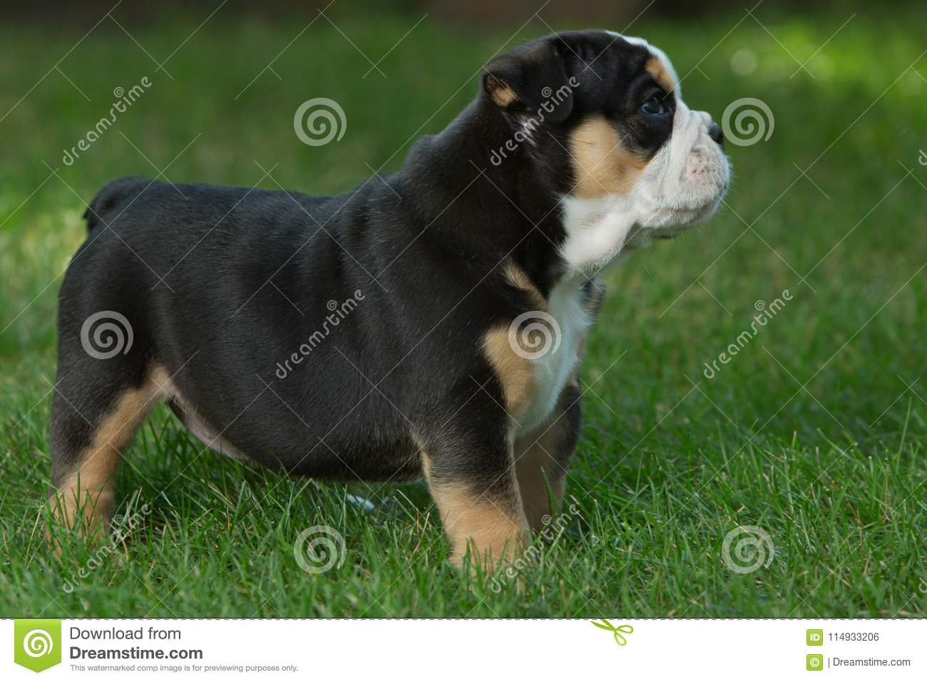 Cute Brown And Black Wrinkled Bulldog Puppy In The Grass Looking At Something Stock Photo Image Of Area Standing 114933206