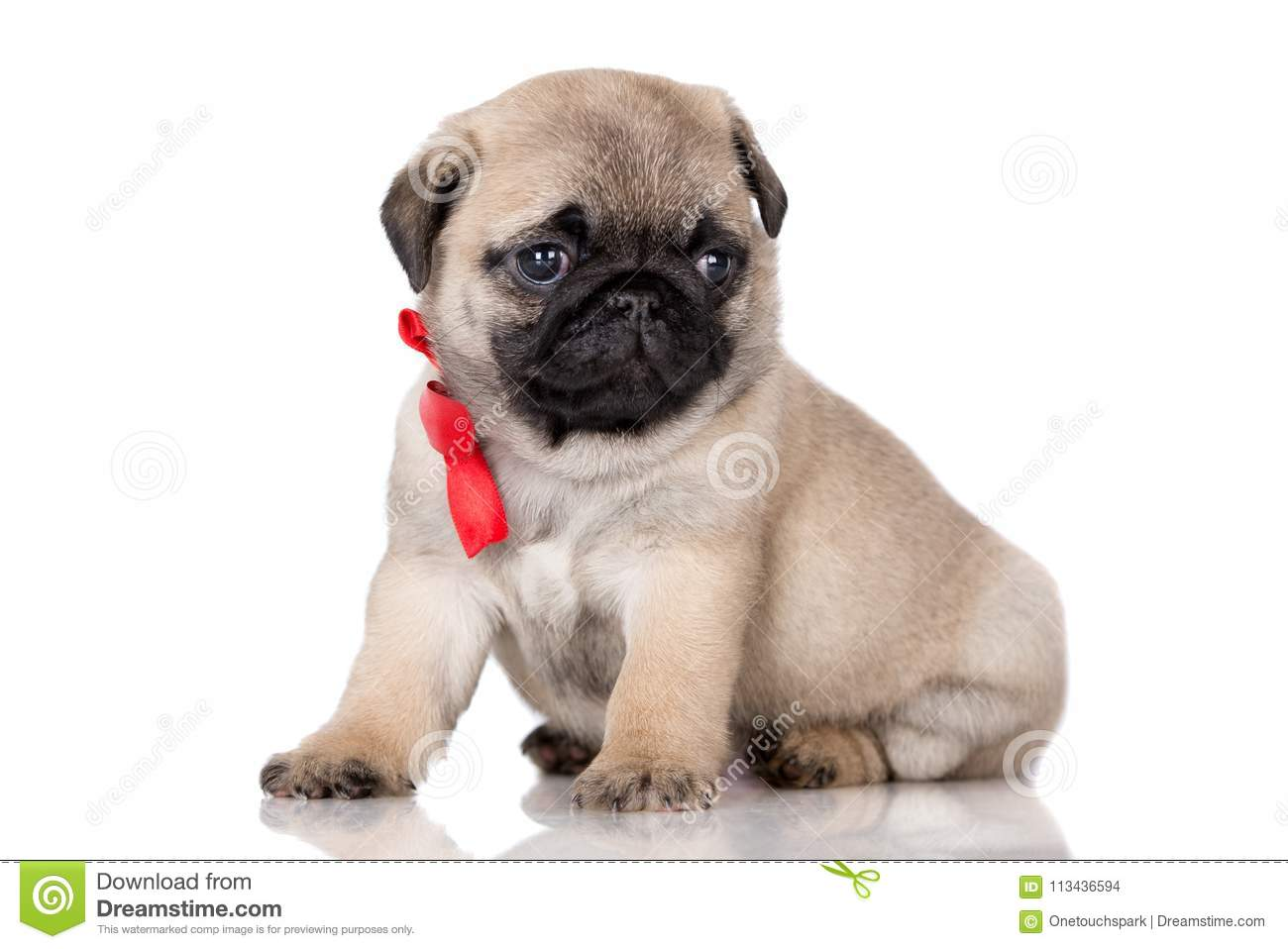 Adorable Fawn Pug Puppy Posing On White Stock Photo Image Of Carnivore Pedigreed 113436594