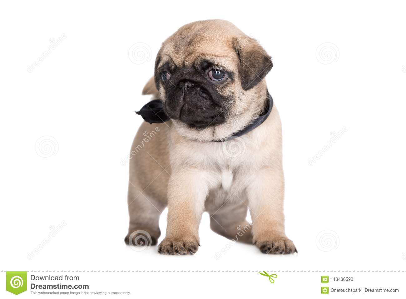 Adorable Fawn Pug Puppy Posing On White Stock Photo Image Of Whelp Fawn 113436590
