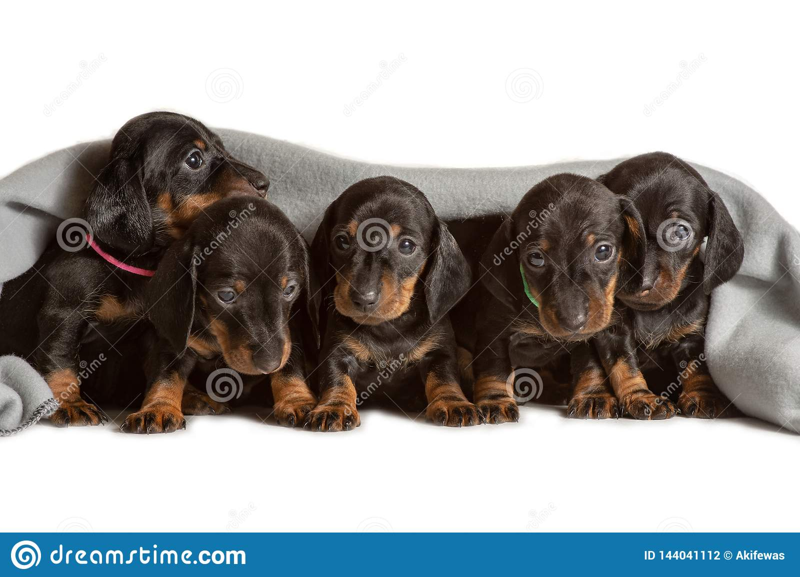 Adorable five dachshund puppies looks out from under the soft warm blanket. Bask in bed. Hiding from the cold