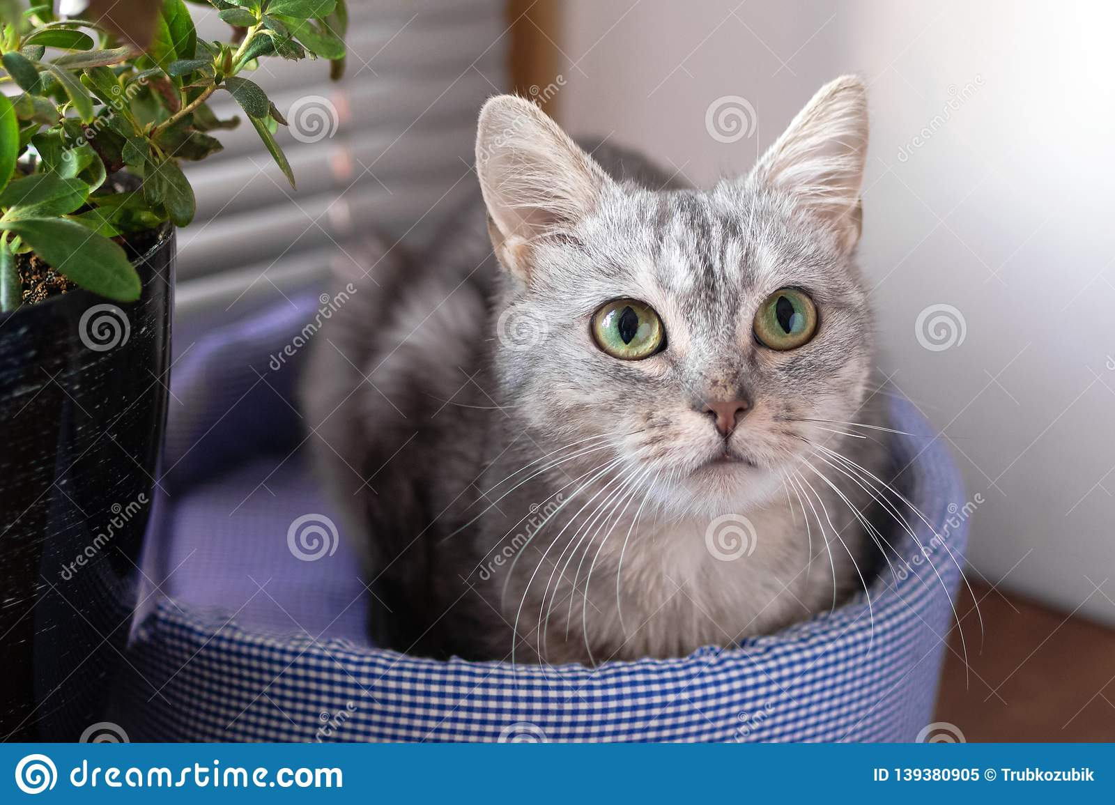 Adorable gray tabby cat with green eyes is sitting on a cat bed near to a window and pot plant and looking to the camera