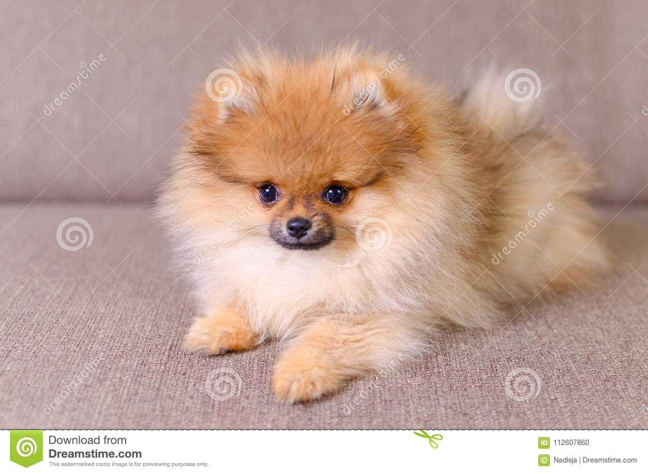 Adorable Fluffy Pomeranian Puppy Lying On The Couch Stock Photo Image Of Golden German 112607860