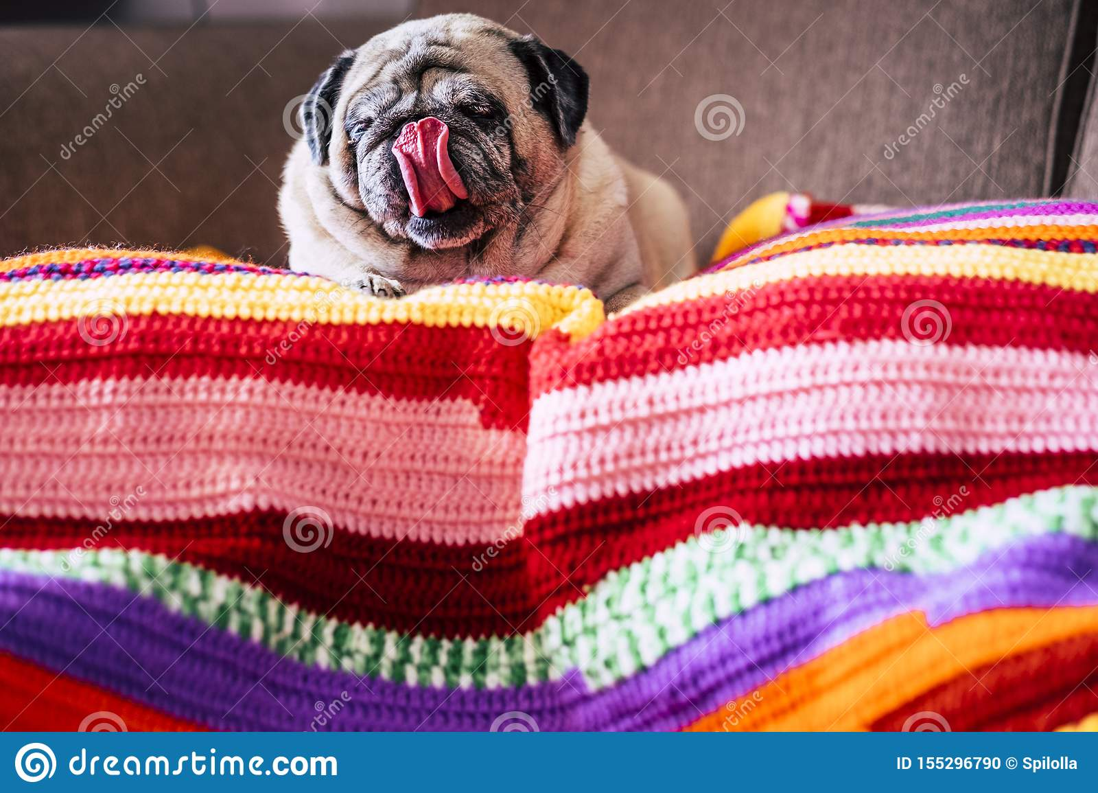 Adorable funny pug dog at home with nice tongue lay down lazy on a coloured cover on the sofa - concept of best friend dog and