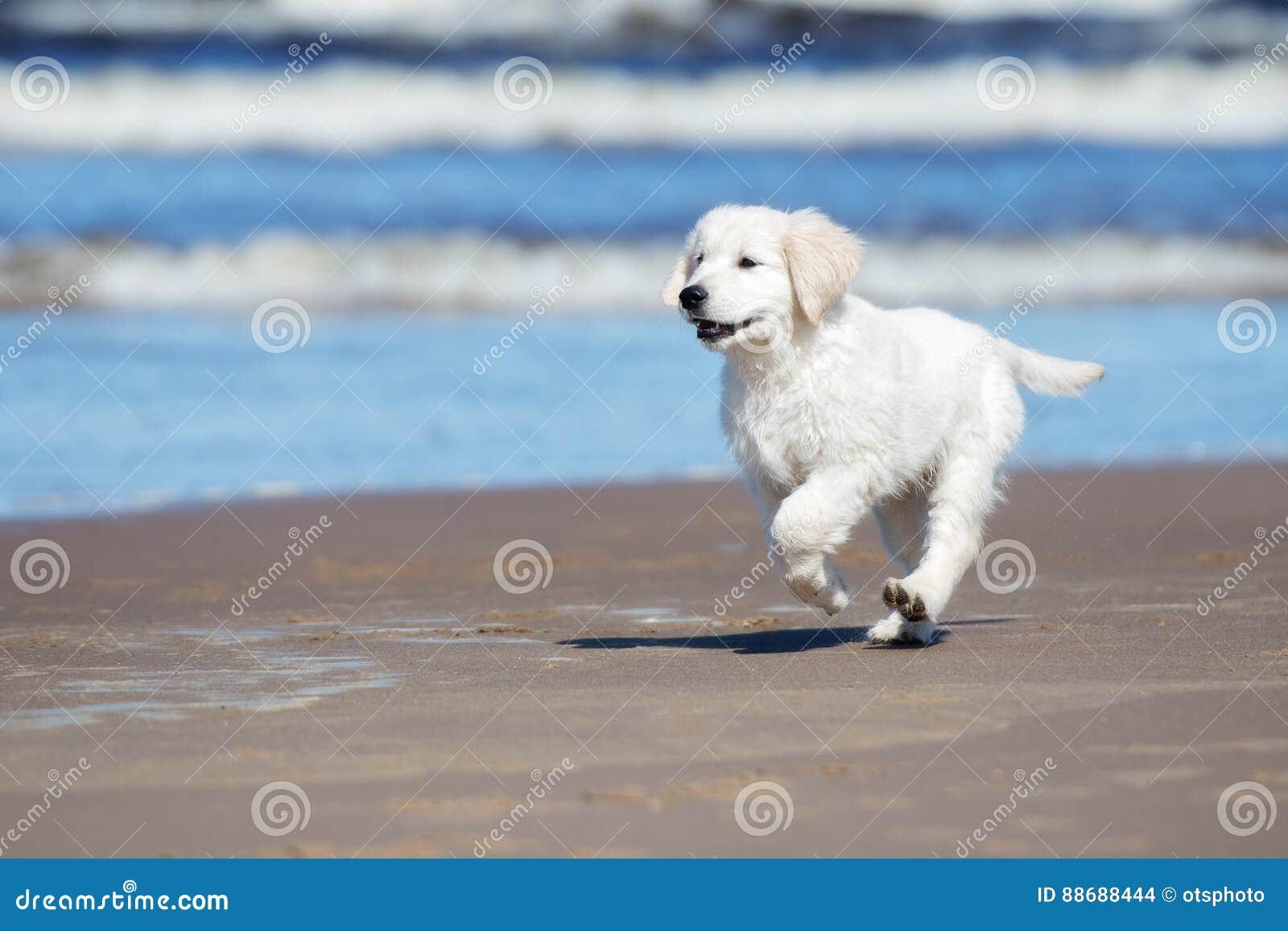 Adorable Golden Retriever Puppy On A Beach Stock Photo Image Of Sweet Summer 88688444