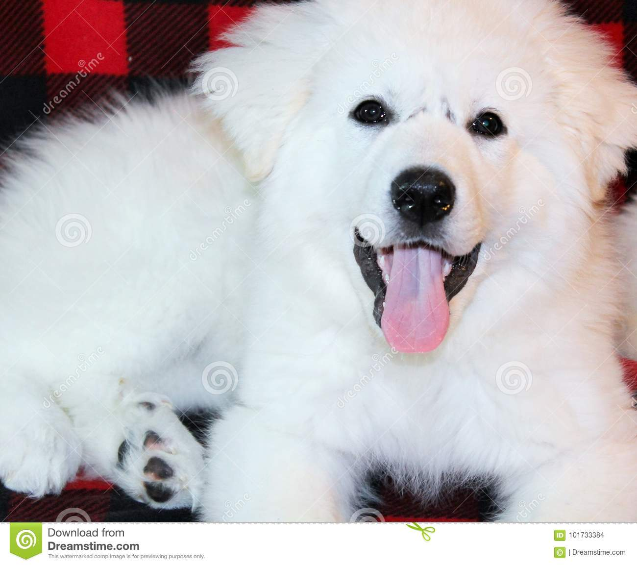 Adorable Great Pyrenees Puppy Panting Stock Photo Image Of