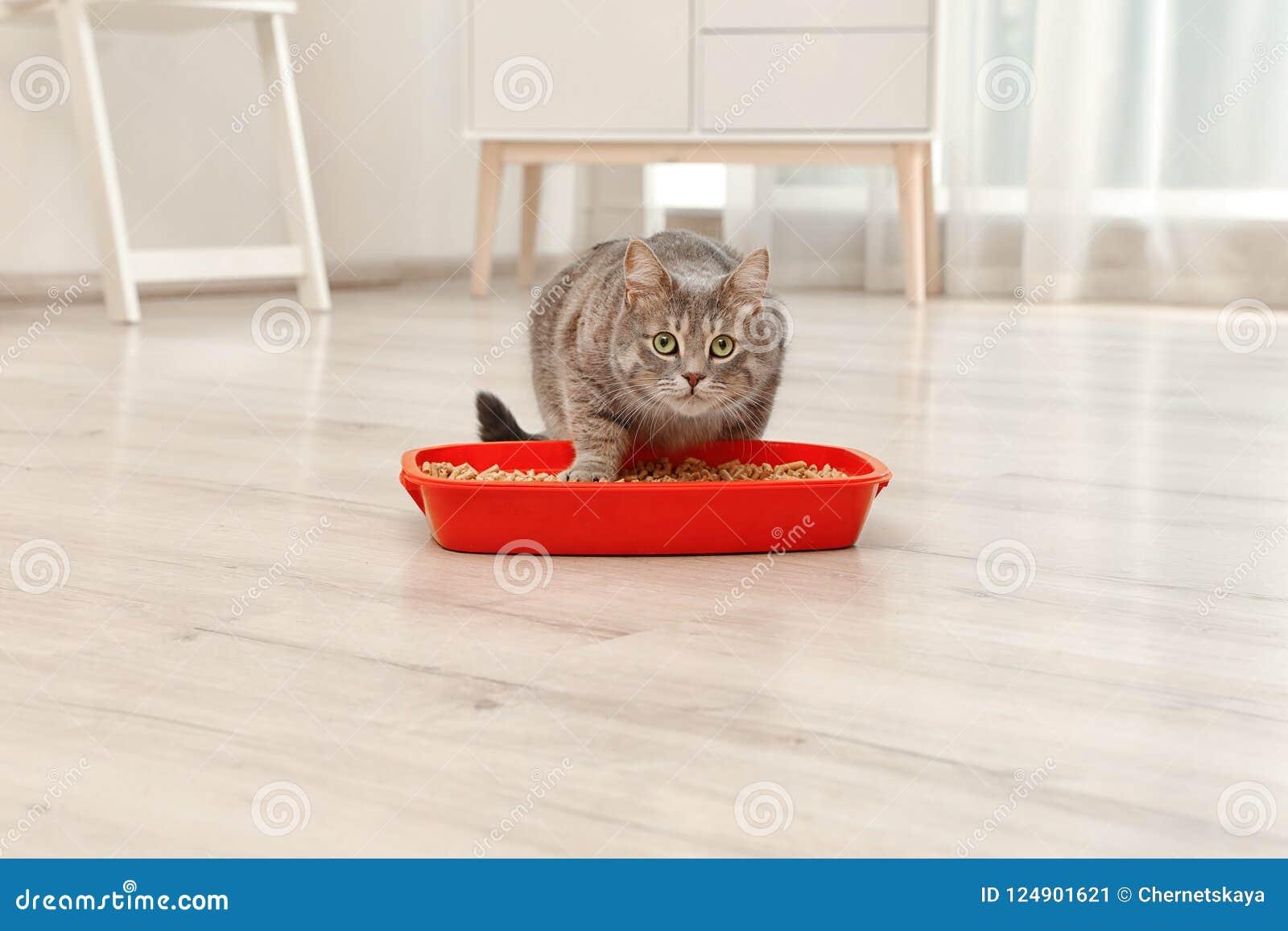 Adorable grey cat near litter box indoors