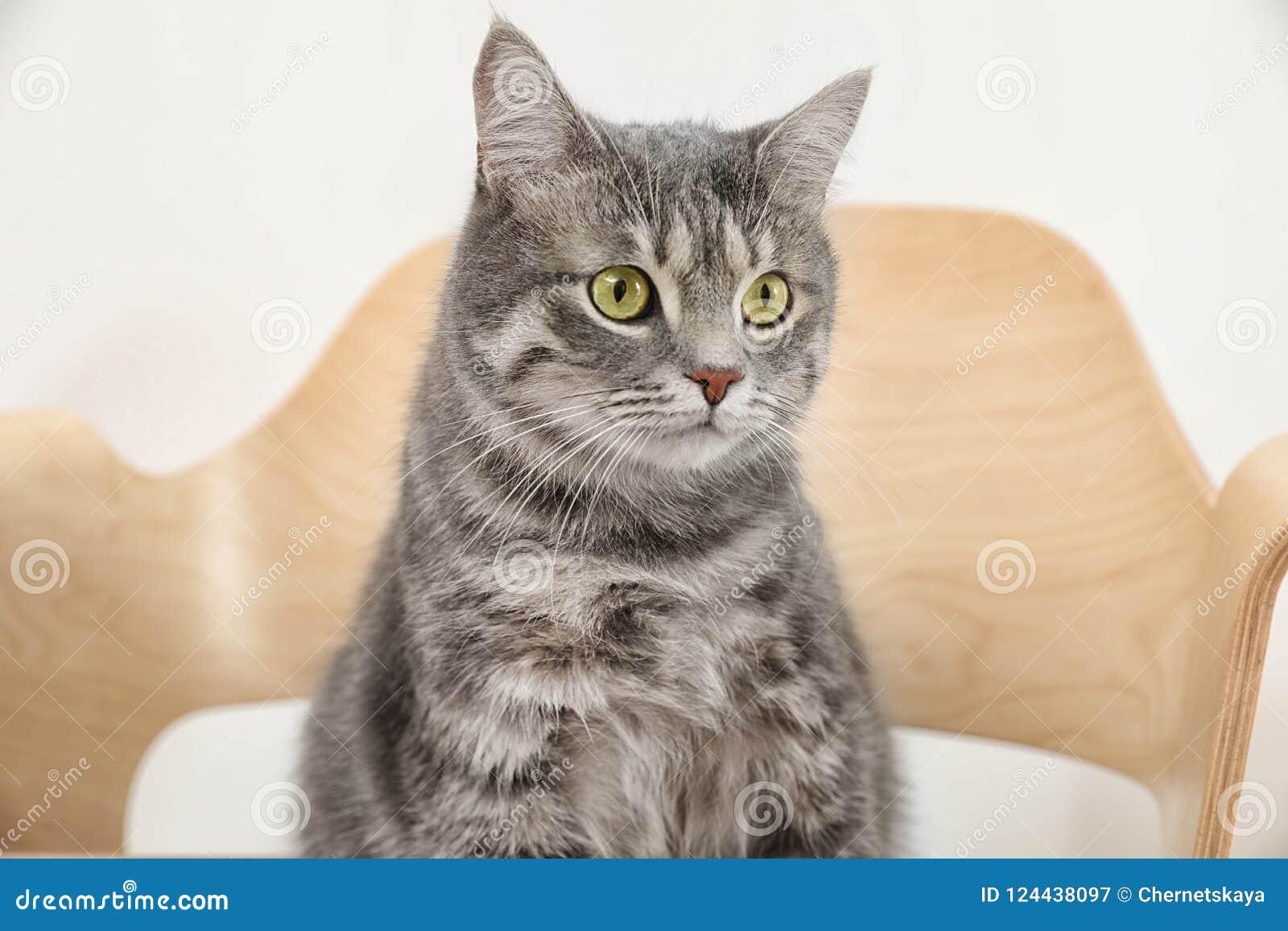 Adorable grey tabby cat on chair