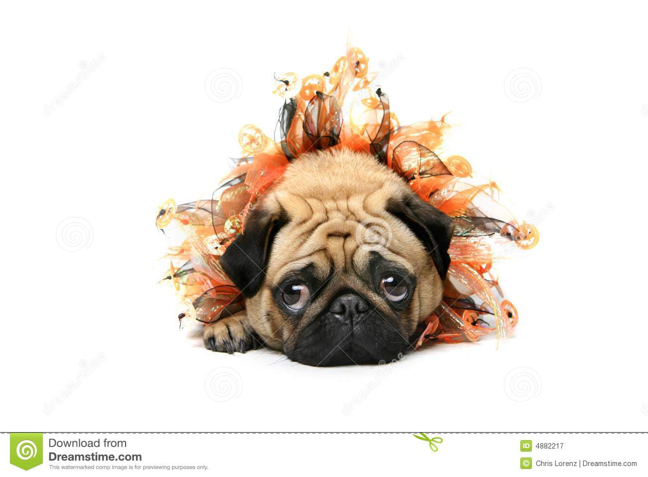 adorable halloween pug royalty free stock photography puppy dog clipart images puppy dog clip art black and white