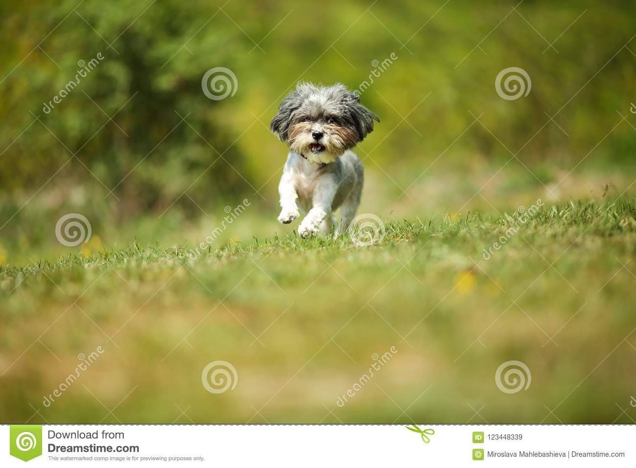 Adorable And Happy Bichon Havanese Dog With Summer Haircut Running