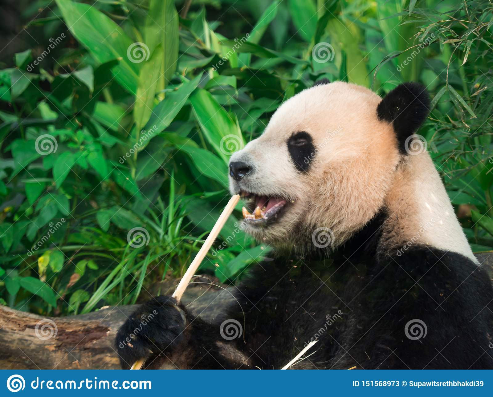 Adorable hungry Giant Panda (Ailuropoda melanoleuca) eating bamboo shoots.