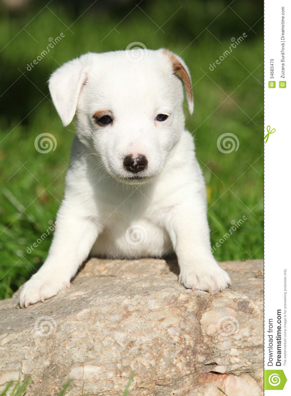 Adorable jack russell terrier puppy on some stone in the garden.
