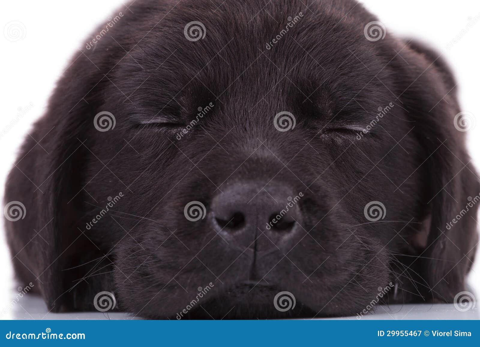 Labrador retriever puppy dog sleeping