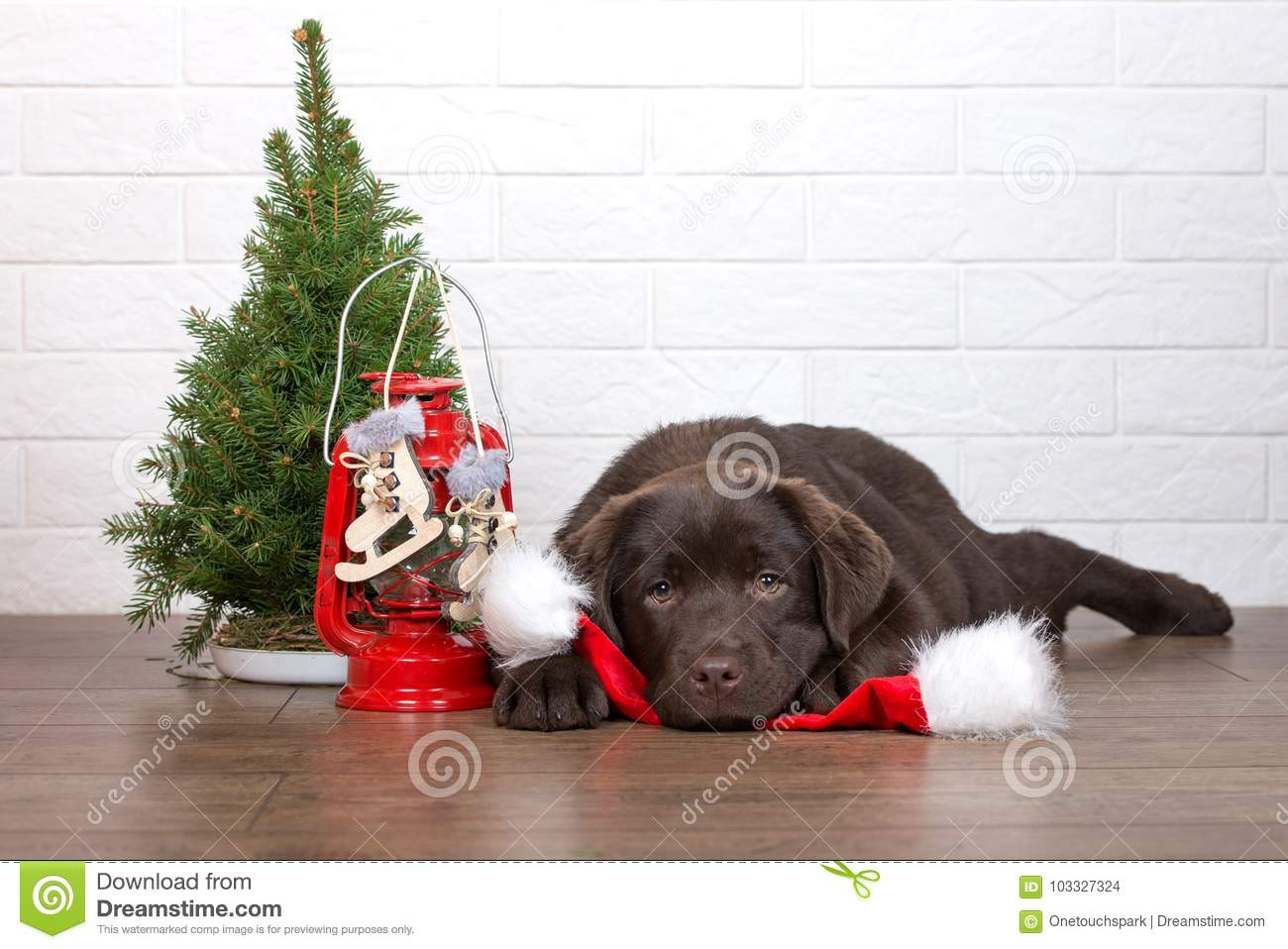 Adorable Labrador Retriever Puppy Posing For Christmas Indoors Stock ...