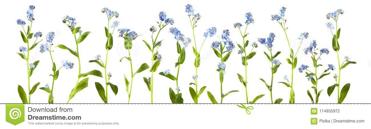 Adorable litte forget-me-not, myosotis, scorpion grass flowers isolated on white