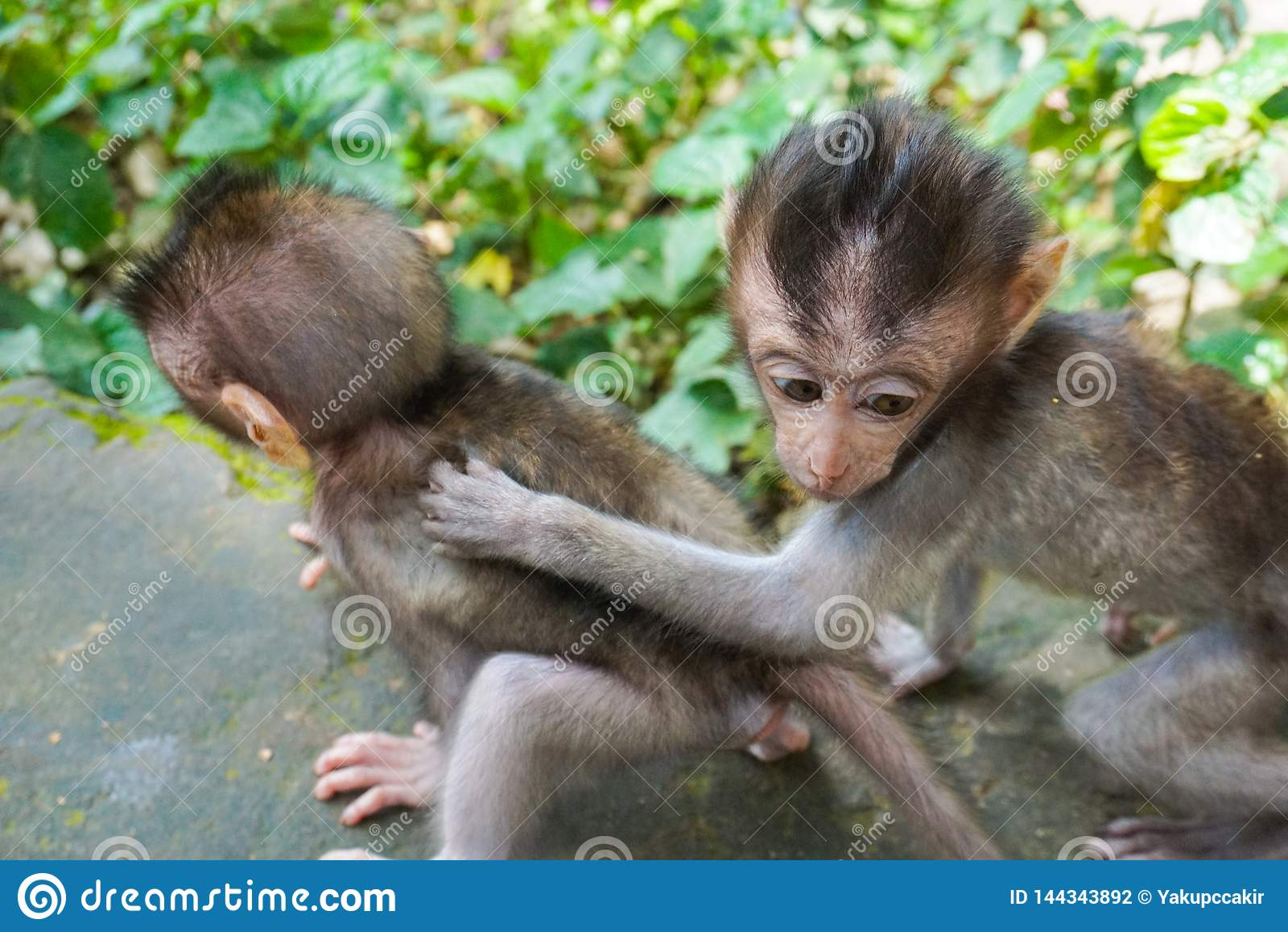 Adorable little baby macaque monkeys at Sacred Monkey Forest. Ubud, Bali, Indonesia