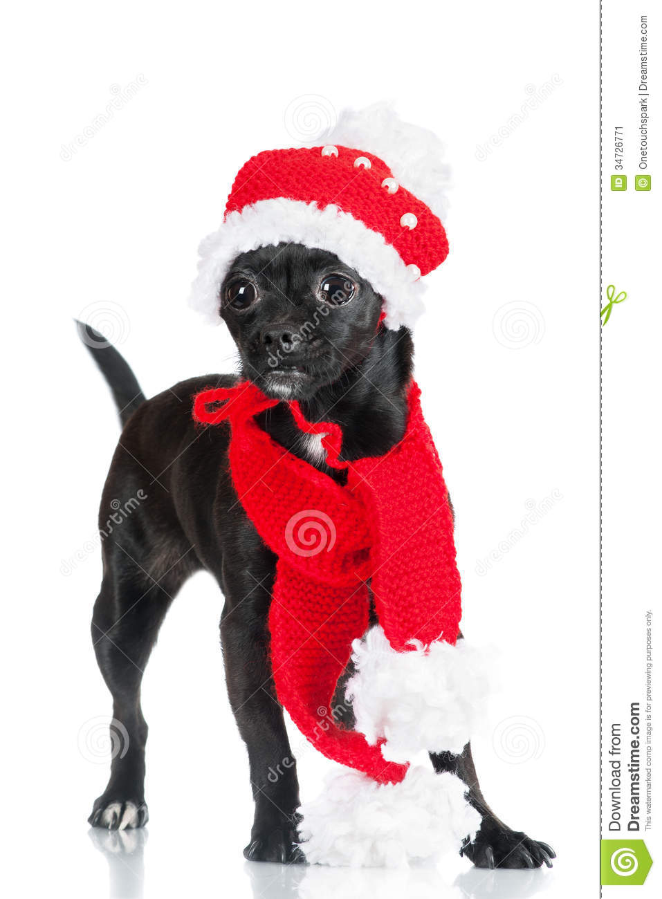 Adorable Little Black Dog In A Hat Adn Scarf Stock Image