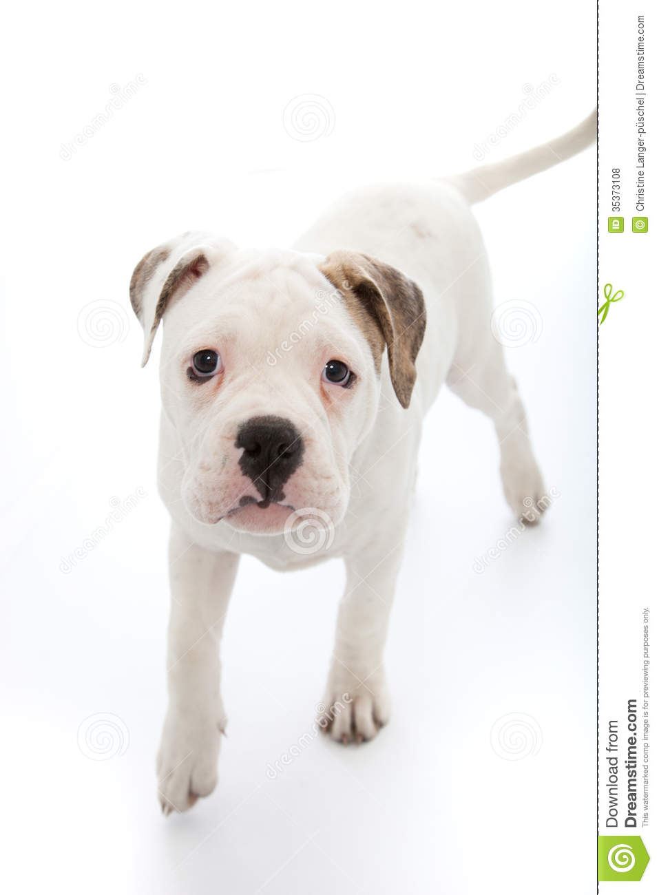 Adorable Little Dog With Sad Droopy Eyes Royalty Free ...