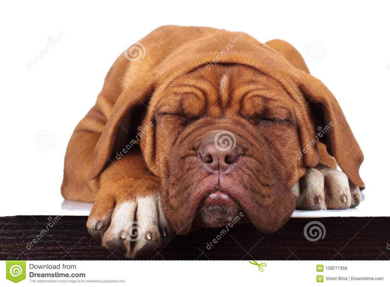 Adorable little french mastiff puppy is sleeping