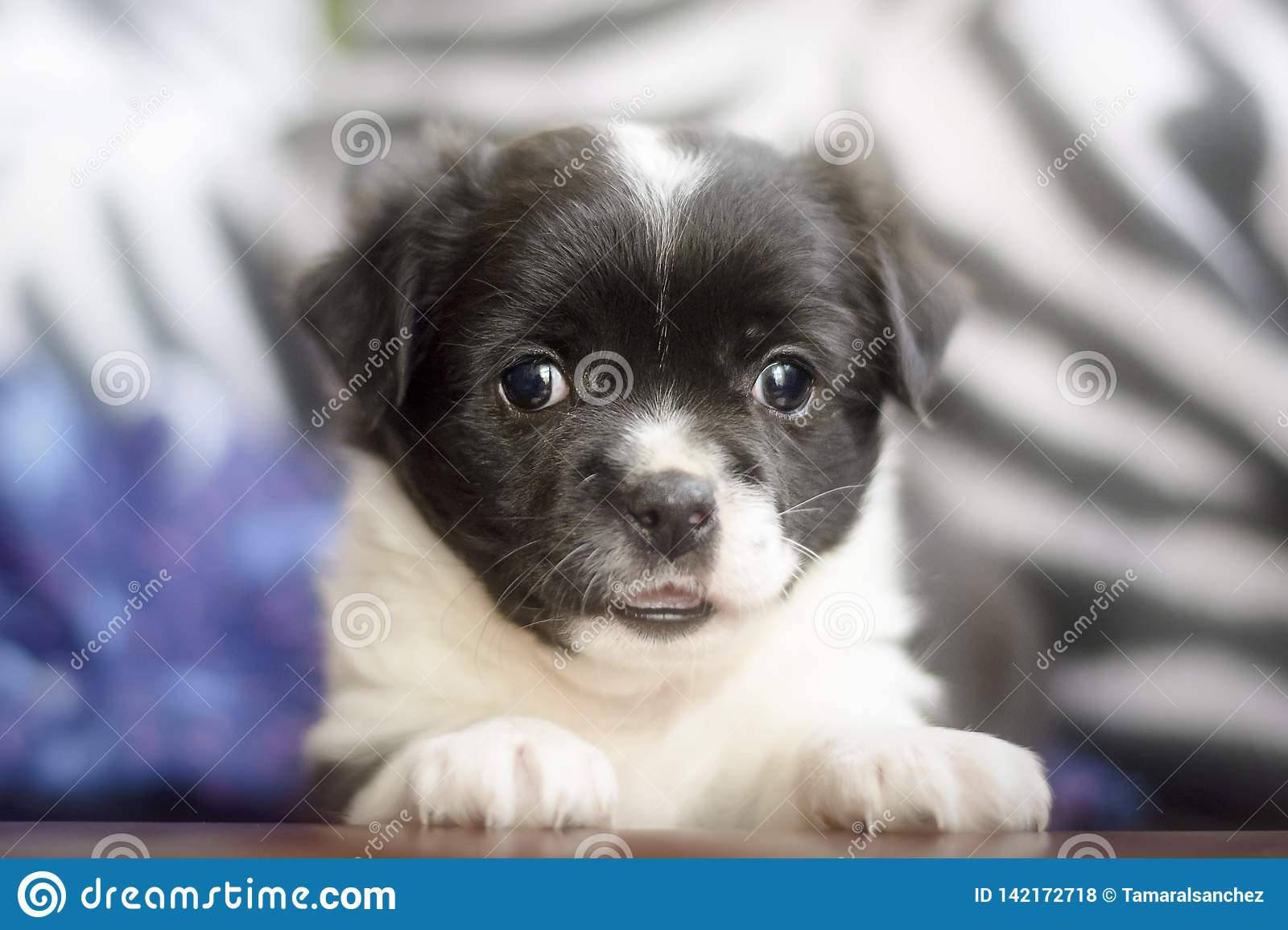 Adorable little mongrel puppy dog looking at the camera