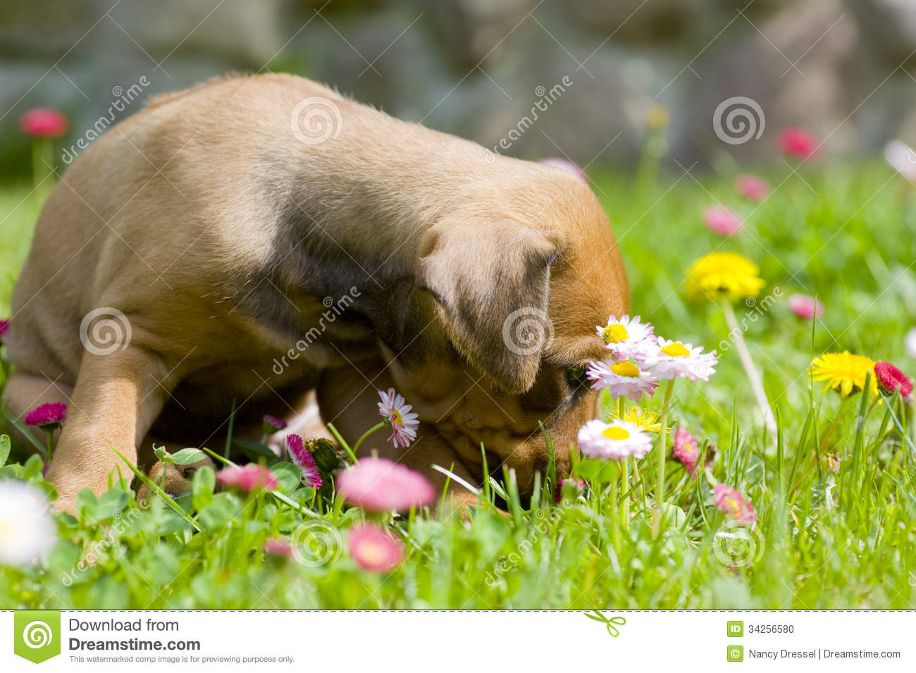 Adorable little puppy between summer flowers stock photo image of alone backyard 34256580 - Gardening for pets ...