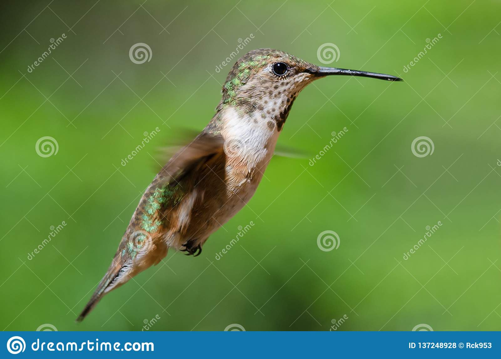 Adorable Little Rufous Hummingbird Hovering in Flight Deep in the Forest