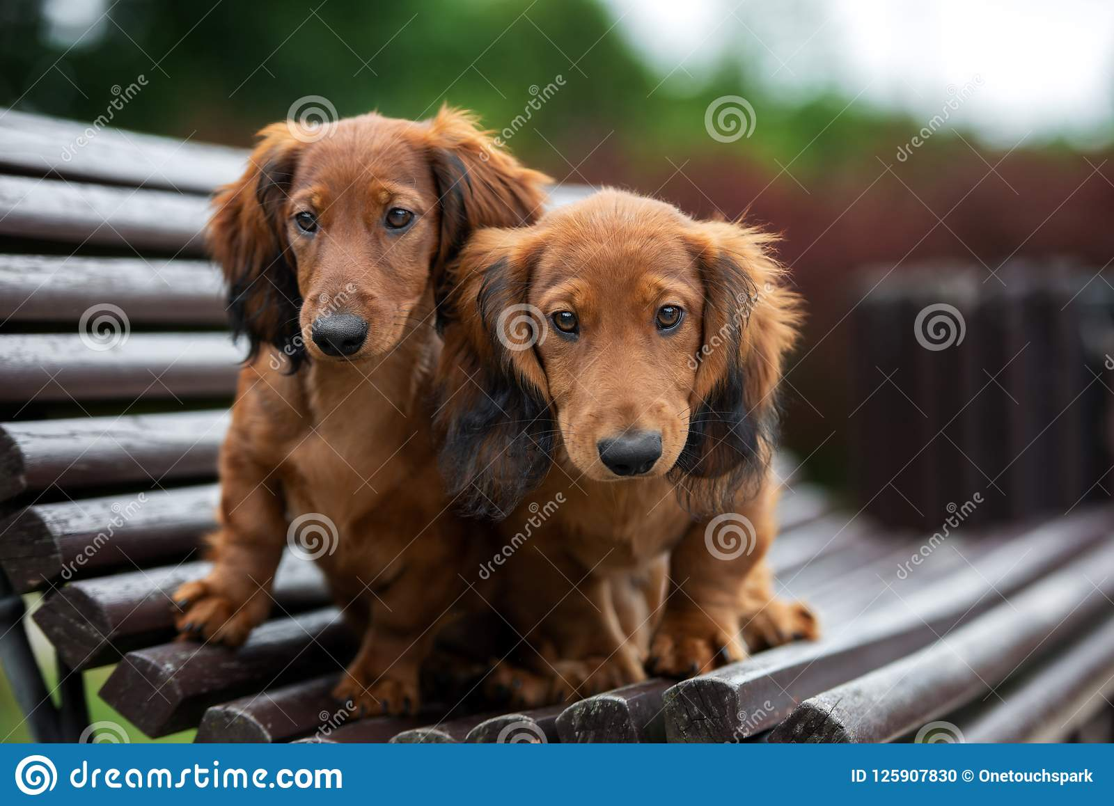 2 994 Haired Puppies Photos Free Royalty Free Stock Photos From Dreamstime