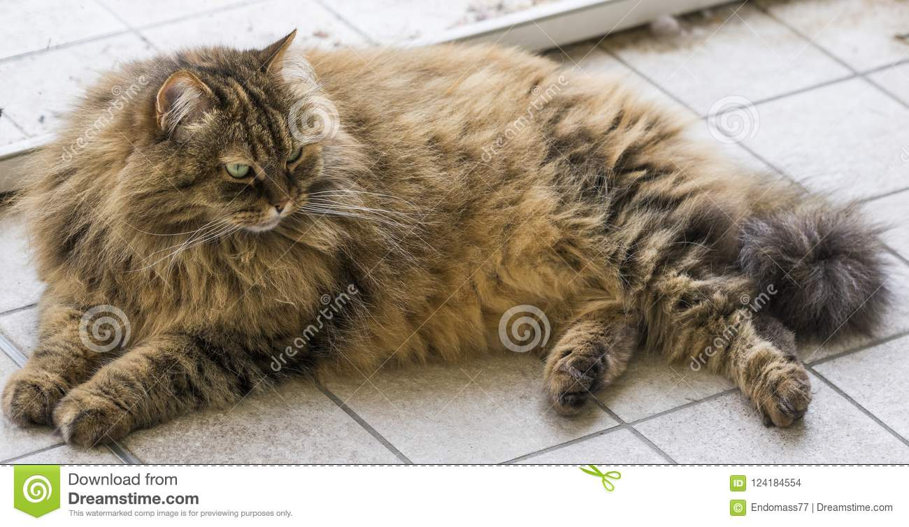 Furrry Cats In Livestock Brown Color Of Siberian Breed Stock Photo