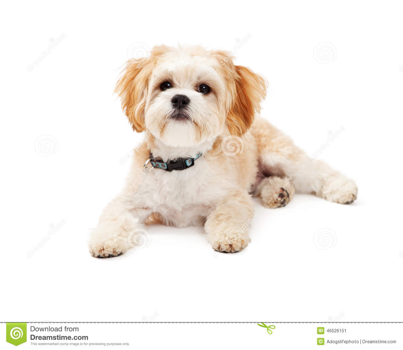 Adorable Maltese Mix Breed Dog Laying