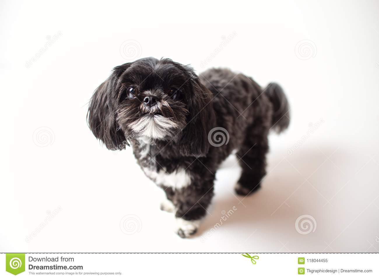 Adorable Miniature Shih Tzu Puppy Dog Stock Image Image Of Bred