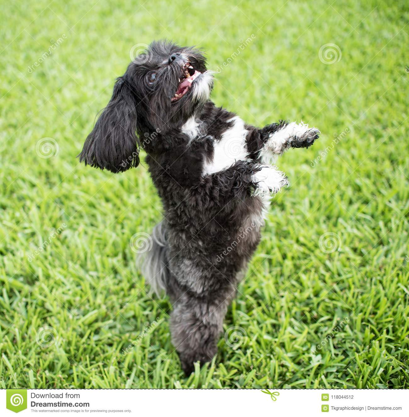 Adorable Miniature Shih Tzu Puppy Dog Stock Photo Image Of