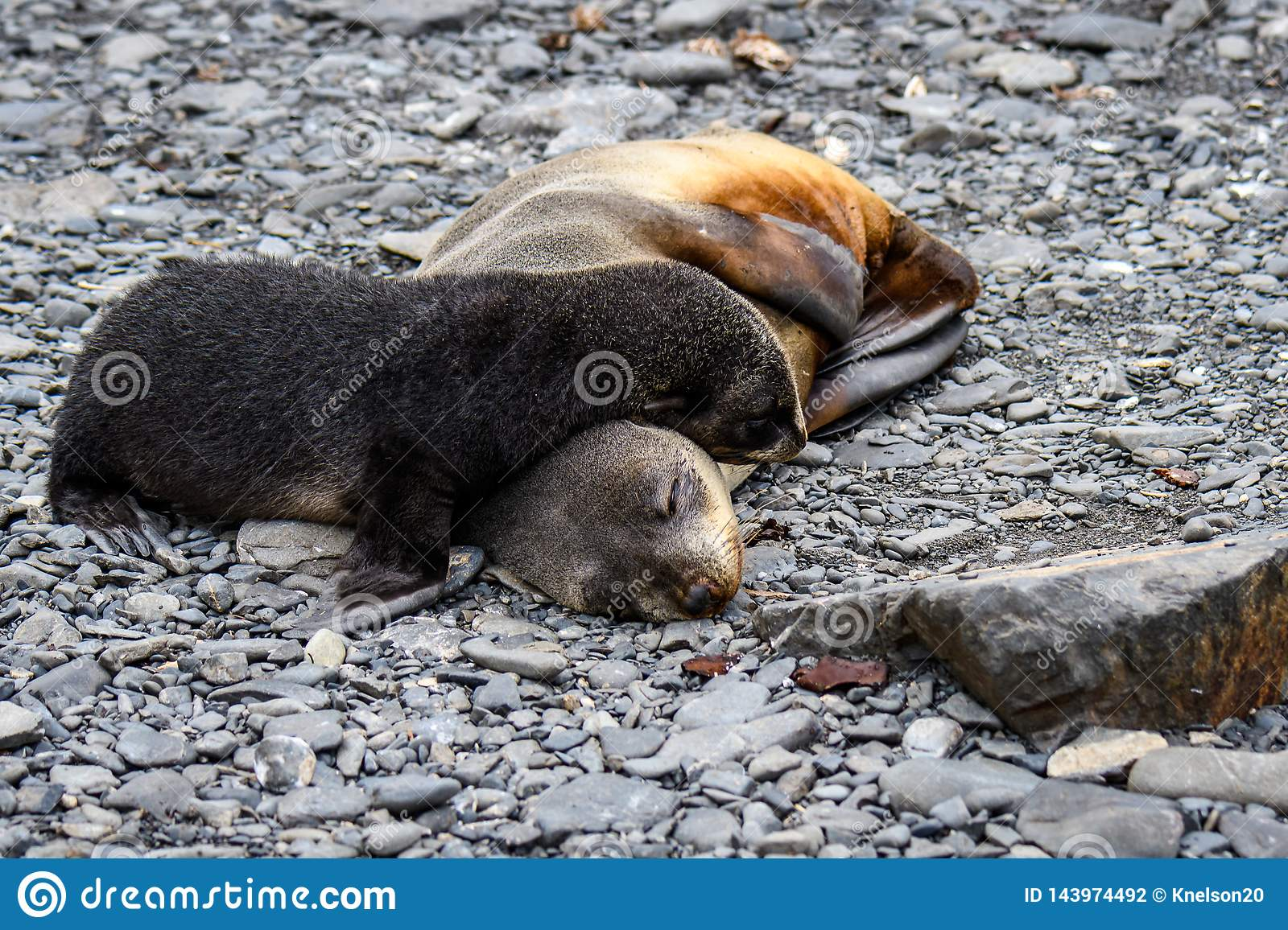 Adorable mother and pup fur seals cuddled up sleeping on rocky beach, Prion Island, South Georgia