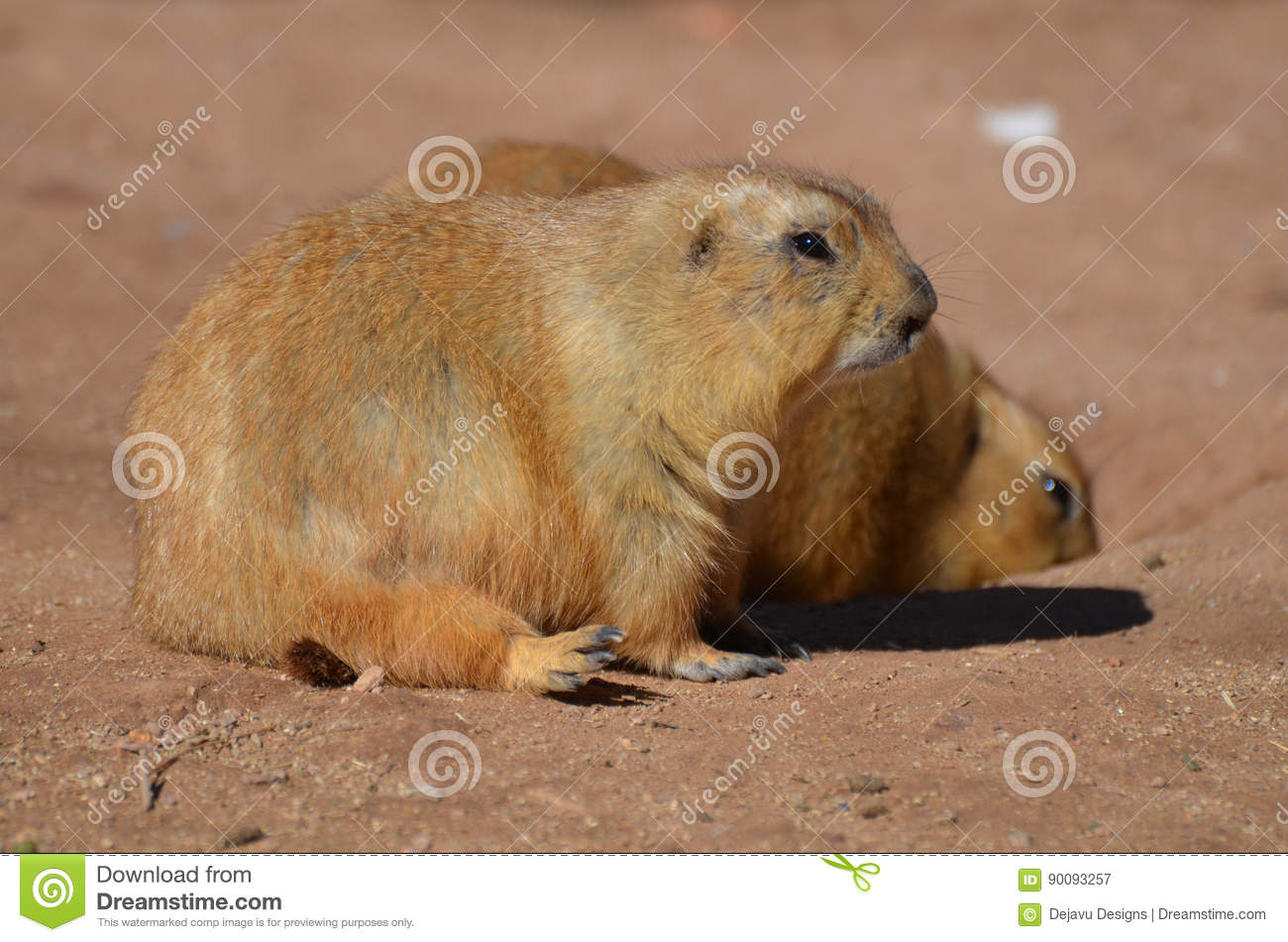 Good Designer Chubby Adorable Dog - adorable-pair-chubby-black-tailed-prairie-dogs-sweet-overweight-90093257  Image_188284  .jpg