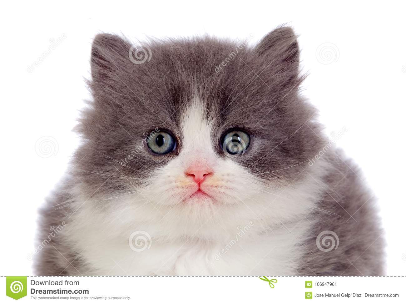 Adorable Persian Cat With Grey And White Hair Stock Image