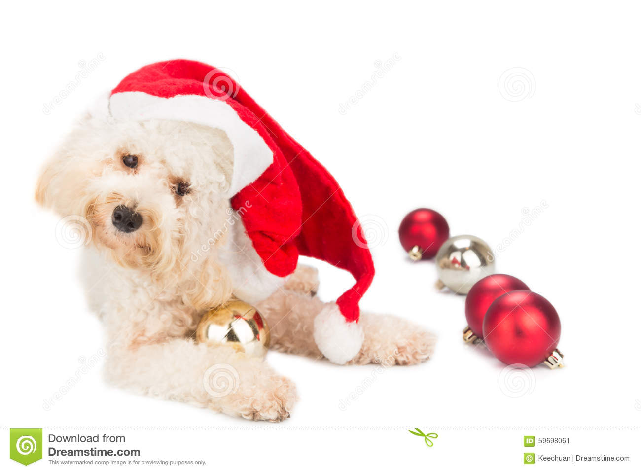 Maltese christmas ornaments - Adorable Poodle Dog In Santa Costume Posing With Christmas Ornam