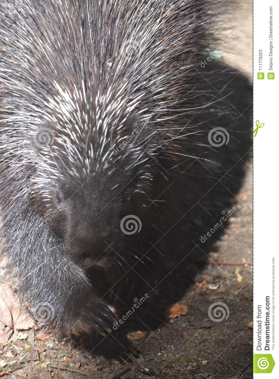 North american porcupine with black and white quills