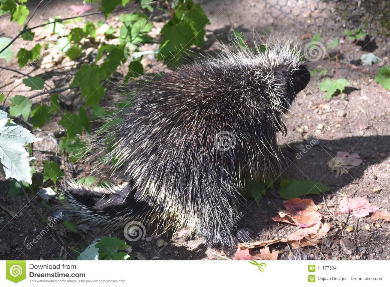 Adorable porcupine walking around with its head up