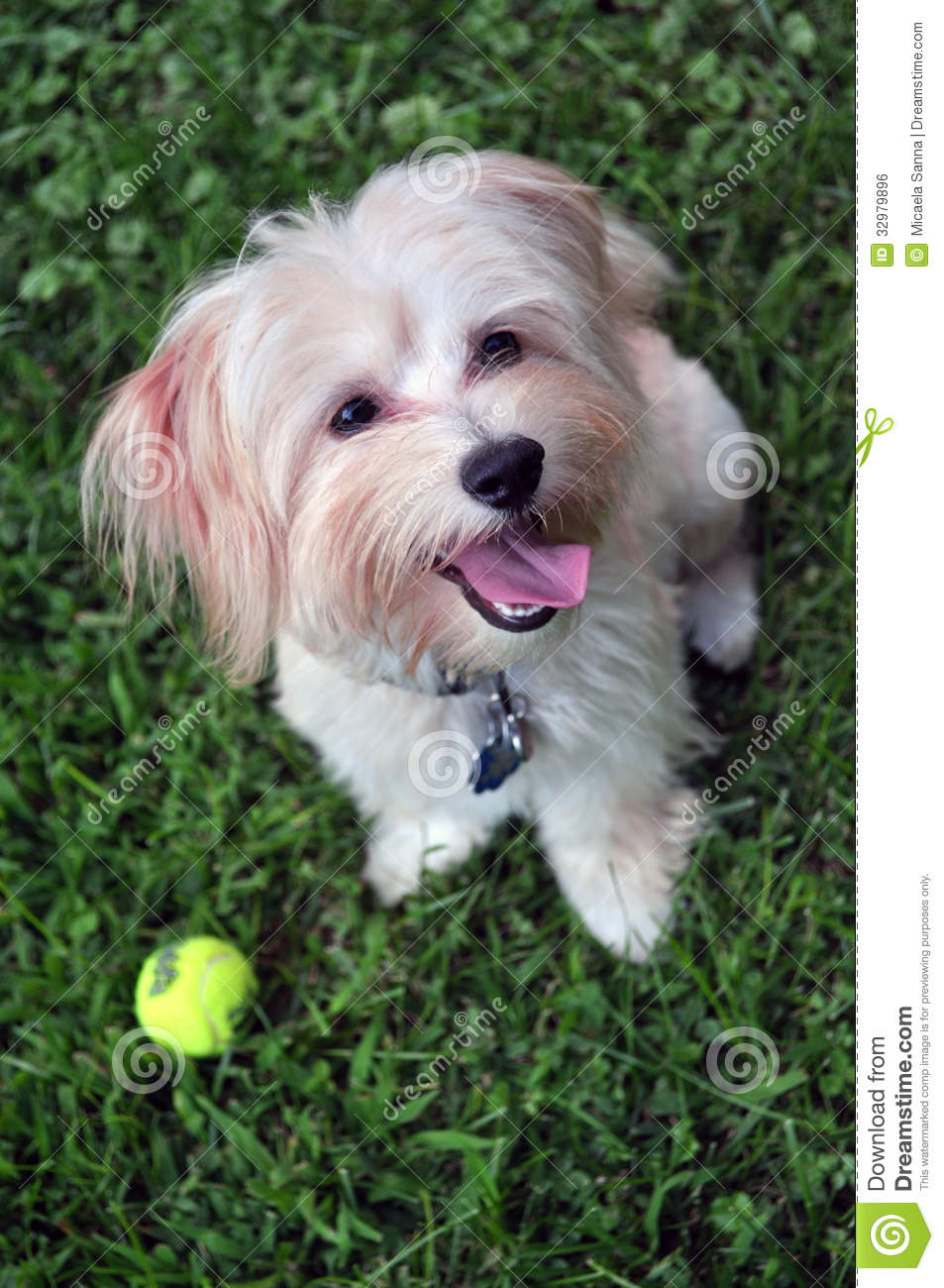 Z Farmy Zvirat Havanese Adorable Portrait Of A...