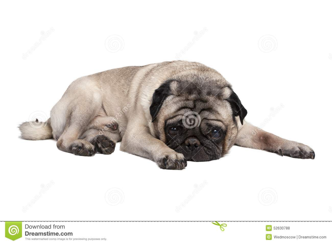 pug laying down adorable pug dog stock photo image 52630788 4813