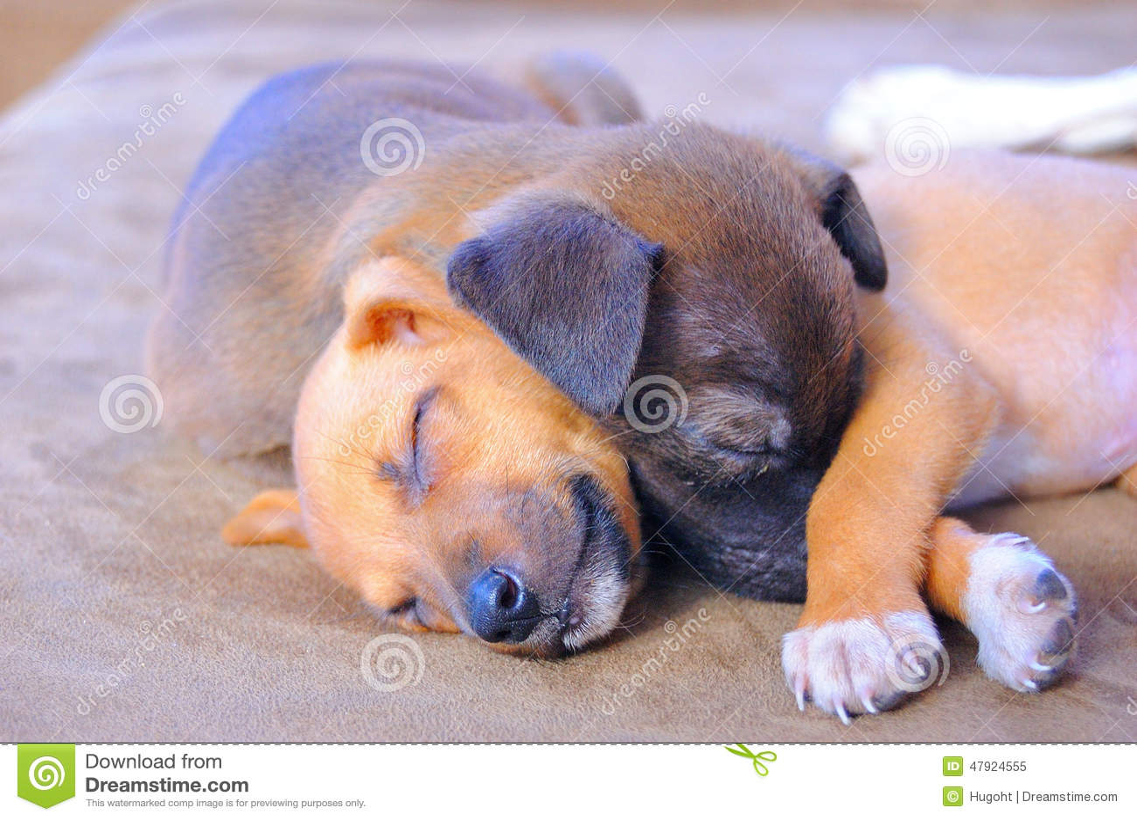 Adorable Puppies Sleeping Stock Image