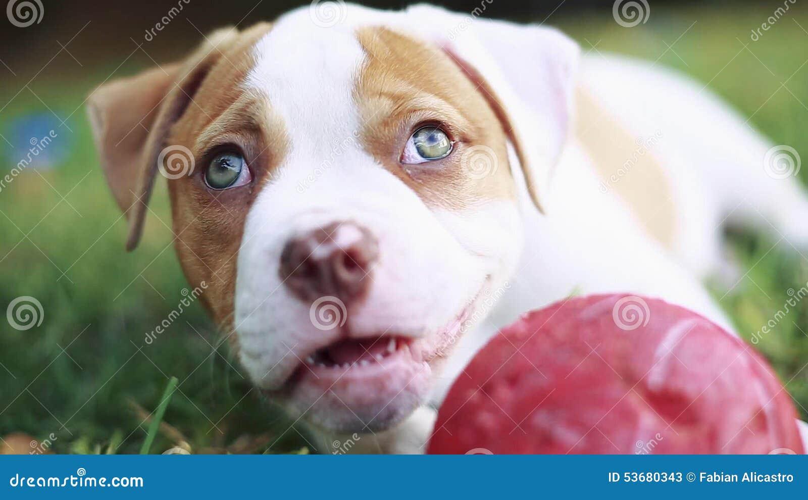 Must see Bulldog Ball Adorable Dog - adorable-puppy-green-eyes-laying-down-grass-playing-ball-cute-close-up-american-bulldog-53680343  Image_146558  .jpg