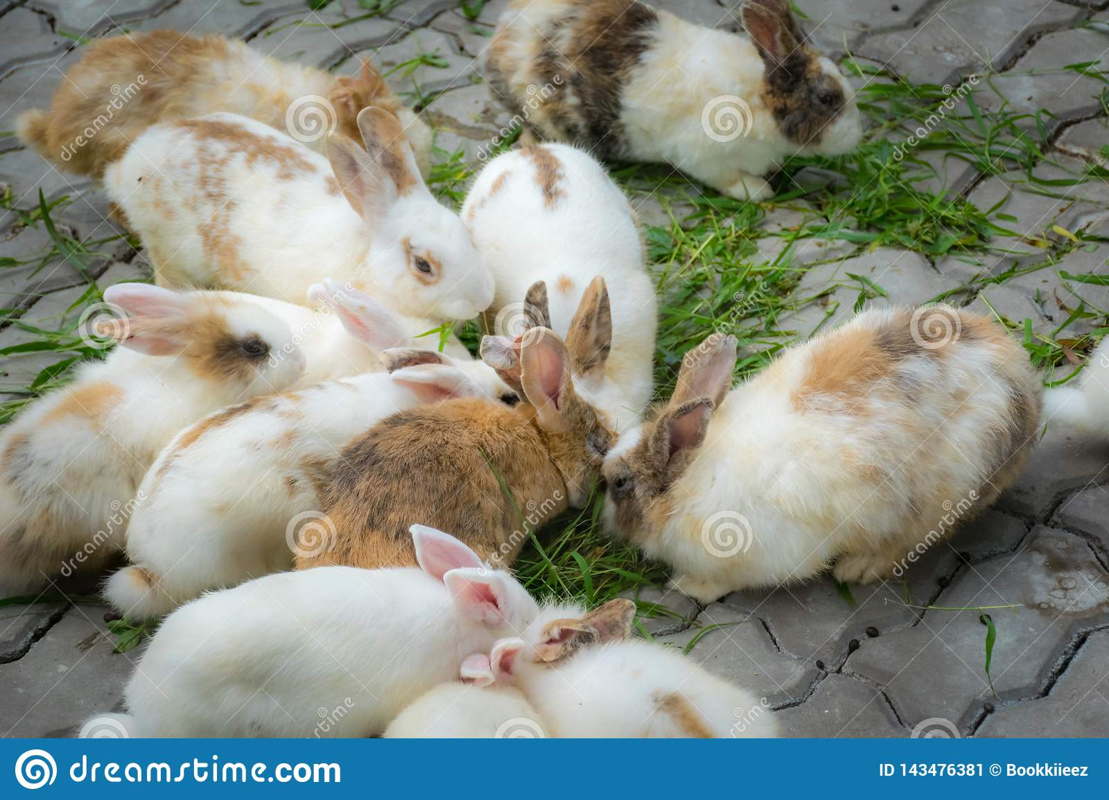Adorable rabbits are eating grasses on ground.