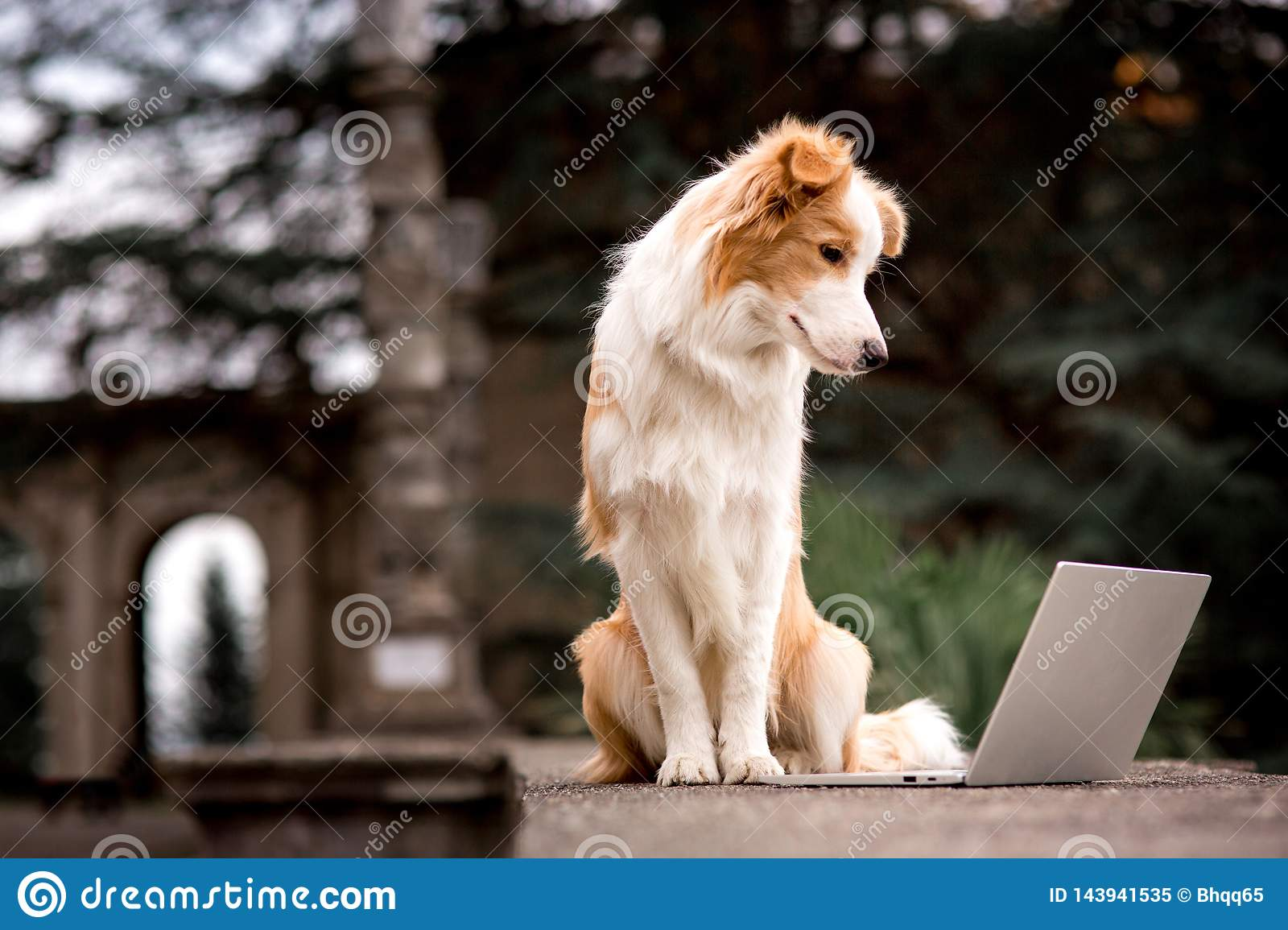 Adorable red dog border collie sitting on railing and playing laptop with happiness face