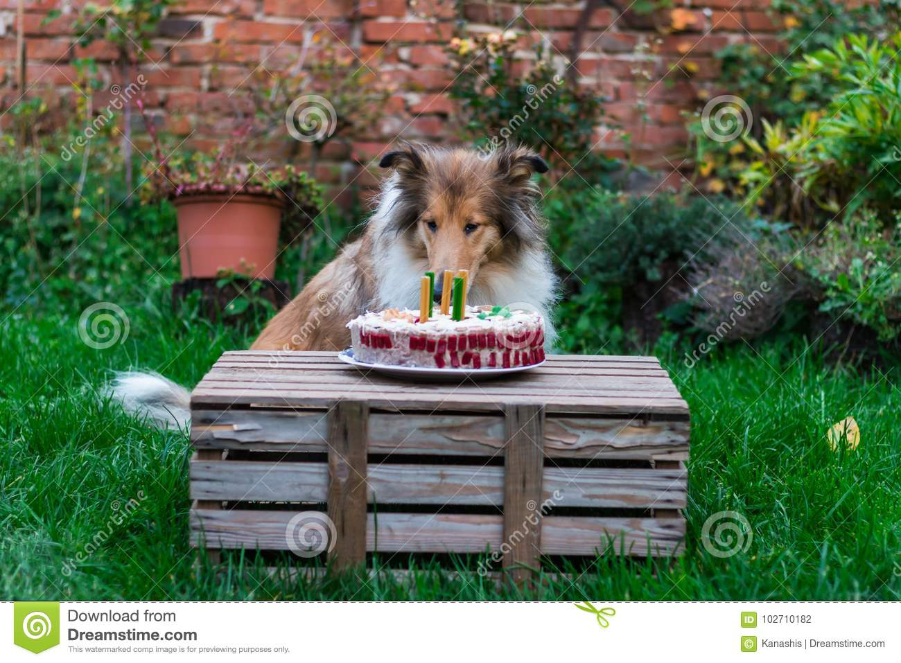 Adorable Rough Collie And Her Birthday Cake Stock Photo Image Of